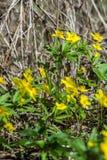 Το κίτρινο δασικό λουλούδι Anemone είναι ένα γένος περίπου 200 ειδών Στοκ φωτογραφία με δικαίωμα ελεύθερης χρήσης