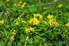 Το κίτρινο δασικό λουλούδι Anemone είναι ένα γένος περίπου 200 ειδών Στοκ Εικόνες