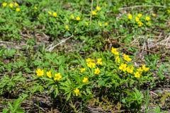 Το κίτρινο δασικό λουλούδι Anemone είναι ένα γένος περίπου 200 ειδών Στοκ εικόνες με δικαίωμα ελεύθερης χρήσης