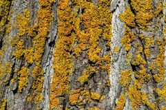 Το κίτρινο και πορτοκαλί βρύο αυξάνεται στον γκρίζο φλοιό ενός δέντρου Στοκ εικόνες με δικαίωμα ελεύθερης χρήσης