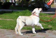 Το κίτρινο κουτάβι του Λαμπραντόρ που μαθαίνει για το σκυλί παρουσιάζει Στοκ φωτογραφία με δικαίωμα ελεύθερης χρήσης