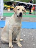 Το κίτρινο κουτάβι του Λαμπραντόρ στο σκυλί παρουσιάζει Στοκ φωτογραφία με δικαίωμα ελεύθερης χρήσης