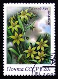 Το κίτρινο κρεμμύδι χήνων, από τη σειρά αναπηδά τα λουλούδια, circa το 1983 Στοκ φωτογραφίες με δικαίωμα ελεύθερης χρήσης