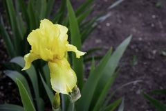 Το κίτρινο λουλούδι ίριδων που ανθίζει σε έναν κήπο αντιγράφει την άνοιξη το διάστημα στοκ εικόνα