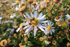 Το κίτρινο λουλούδι θάμνων Wite στο δροσερό λουλούδι υποβάθρου μορίων κήπων σκάει έξω το έντομο Στοκ Εικόνες