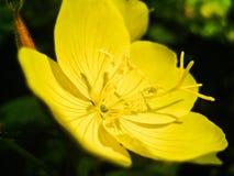 Το κίτρινο λουλούδι με μια αράχνη στοκ εικόνα