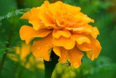 Το κίτρινο λουλούδι του βατόμουρου Στοκ Εικόνα
