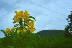 Το κίτρινο λουλούδι είναι φύση Στοκ Φωτογραφία