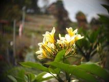 Το κίτρινο λουλούδι Στοκ Εικόνα