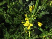 Το κίτρινο λουλούδι Στοκ Εικόνες