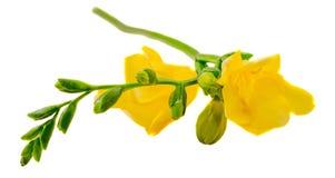 Το κίτρινο λουλούδι freesia, που απομονώνεται, κλείνει επάνω το άσπρο υπόβαθρο Στοκ εικόνα με δικαίωμα ελεύθερης χρήσης