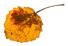 το κίτρινο πεσμένο φύλλο φθινοπώρου το δέντρο που απομονώνεται Στοκ εικόνα με δικαίωμα ελεύθερης χρήσης