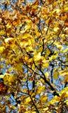 Το κίτρινο πορτοκαλί δέντρο, ξεραίνει τα φύλλα και το μπλε ουρανό, θολωμένο φυσικό υπόβαθρο φθινοπώρου οικολογίας στοκ εικόνες
