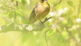 Το κίτρινο πουλί άνοιξη τραγουδά ένα όμορφο τραγούδι φιλμ μικρού μήκους