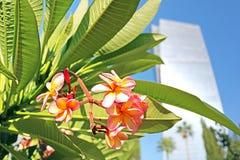 Το κίτρινο ρόδινο λουλούδι κινηματογραφήσεων σε πρώτο πλάνο της ερήμου αυξήθηκε, Frangipani, Plumeria, δέντρο ναών, δέντρο νεκροτ Στοκ Φωτογραφία