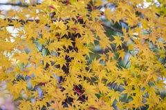 Το κίτρινο φθινόπωρο αφήνει την πολύ ρηχή εστίαση Στοκ Φωτογραφίες