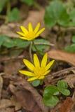 Το κίτρινο anemone, κίτρινο ξύλινο anemone Στοκ εικόνες με δικαίωμα ελεύθερης χρήσης