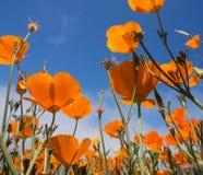 Το κίτρινο californica Eschscholzia ανθίζει τον τομέα Στοκ εικόνα με δικαίωμα ελεύθερης χρήσης