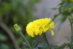 Το κίτρινο marigold άνθος στο πράσινο δέντρο, αυτό είναι εγκαταστάσεις της οικογένειας μαργαριτών στοκ φωτογραφία