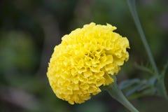 Το κίτρινο marigold άνθος στο πράσινο δέντρο, αυτό είναι εγκαταστάσεις της οικογένειας μαργαριτών στοκ φωτογραφίες με δικαίωμα ελεύθερης χρήσης