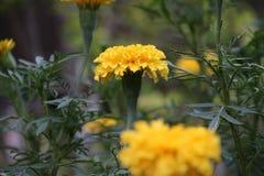 Το κίτρινο marigold άνθος στο πράσινο δέντρο, αυτό είναι εγκαταστάσεις της οικογένειας μαργαριτών στοκ φωτογραφία με δικαίωμα ελεύθερης χρήσης