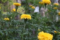 Το κίτρινο marigold άνθος στο πράσινο δέντρο, αυτό είναι εγκαταστάσεις της οικογένειας μαργαριτών στοκ εικόνα