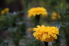Το κίτρινο marigold άνθος στο πράσινο δέντρο, αυτό είναι εγκαταστάσεις της οικογένειας μαργαριτών στοκ φωτογραφίες