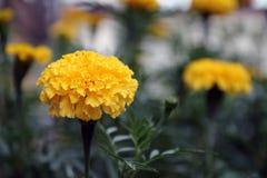Το κίτρινο marigold άνθος στο πράσινο δέντρο, αυτό είναι εγκαταστάσεις της οικογένειας μαργαριτών στοκ εικόνες