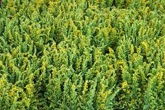 Το κίτρινο mimosa στις ανθοδέσμες στην αγορά λουλουδιών Στοκ Εικόνες