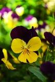 Το κίτρινο pansy ή tricolor viola, συμβολίζει την ταπεινότητα και τις ενθυμήσεις Στοκ Φωτογραφία