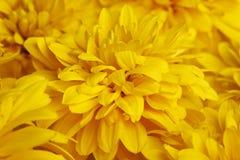 Το κίτρινο rudbeckia πετάλων Στοκ Εικόνες