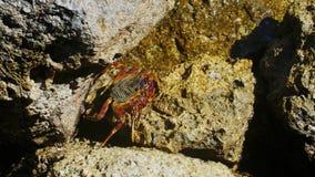 Το καβούρι κάθεται σε έναν βράχο στην ακτή της Ερυθράς Θάλασσας απόθεμα βίντεο