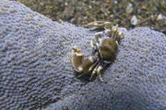 Το καβούρι πορσελάνης συγκατοικεί στη θάλασσα Anemone από Padre Burgos, Leyte, Φιλιππίνες Στοκ Εικόνες