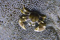 Το καβούρι πορσελάνης συγκατοικεί στη θάλασσα Anemone από Padre Burgos, Leyte, Φιλιππίνες Στοκ εικόνα με δικαίωμα ελεύθερης χρήσης