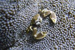 Το καβούρι πορσελάνης συγκατοικεί στη θάλασσα Anemone από Padre Burgos, Leyte, Φιλιππίνες Στοκ φωτογραφία με δικαίωμα ελεύθερης χρήσης