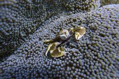 Το καβούρι πορσελάνης συγκατοικεί στη θάλασσα Anemone από Padre Burgos, Leyte, Φιλιππίνες Στοκ Φωτογραφίες