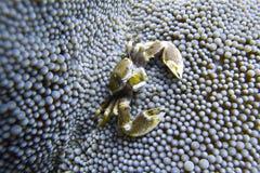 Το καβούρι πορσελάνης συγκατοικεί στη θάλασσα Anemone από Padre Burgos, Leyte, Φιλιππίνες Στοκ Φωτογραφία