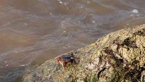 Το καβούρι που περπατά και που σέρνεται στους βαριούς βράχους παραλιών, νερό που αρπάζουν τους με την πίεση, έρευνα καβουριών κυν απόθεμα βίντεο