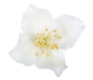 Το καθαρό λευκό jasmin η άνθιση Στοκ φωτογραφία με δικαίωμα ελεύθερης χρήσης