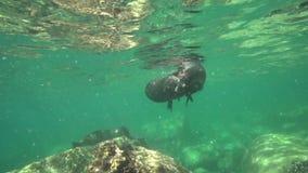 Το καλιφορνέζικο californianus Zalophus λιονταριών θάλασσας παίζει με με τους δύτες στο Λα Παζ θάλασσας του Cortez νησιών Los Iso απόθεμα βίντεο
