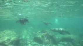 Το καλιφορνέζικο californianus Zalophus λιονταριών θάλασσας παίζει με με τους δύτες στο Λα Παζ θάλασσας του Cortez νησιών Los Iso φιλμ μικρού μήκους