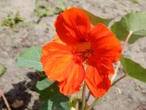 Το καλοκαίρι στον κήπο ανθίζει nasturtium Στοκ εικόνες με δικαίωμα ελεύθερης χρήσης