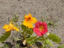 Το καλοκαίρι στον κήπο ανθίζει nasturtium Στοκ φωτογραφία με δικαίωμα ελεύθερης χρήσης