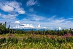 Το καλοκαίρι Fireweed ανθίζει κοντά σε Fairbanks, Αλάσκα στοκ φωτογραφίες