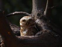Το καλό επισημασμένο owlet χαλαρώνει σε το το δέντρο κοίλο Αρπακτικό ζώο, κεφάλι στοκ φωτογραφίες με δικαίωμα ελεύθερης χρήσης