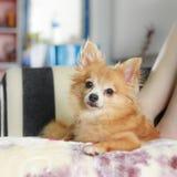 Το καλό κουτάβι, νέα καφετιά χαλάρωση chihuahua επάνω μαλακά στοκ φωτογραφίες