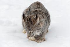 Το καναδικό canadensis λυγξ λυγξ εξετάζει το χιόνι στοκ εικόνες