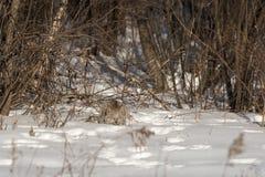 Το καναδικό canadensis λυγξ λυγξ προετοιμάζεται να επιτεθεί ξαφνικά Στοκ φωτογραφία με δικαίωμα ελεύθερης χρήσης
