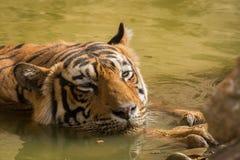 Το καυτό καλοκαίρι στην αρσενική κινηματογράφηση σε πρώτο πλάνο τιγρών ranthambore Α δρόσιζε μακριά στο waterhole στοκ εικόνες
