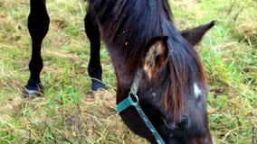 Το καφετί άλογο έχει έναν μπλε δεσμό απόθεμα βίντεο
